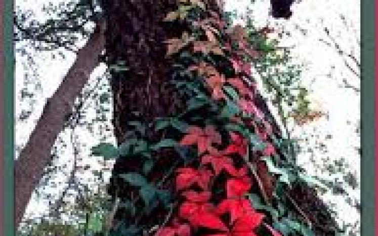 virginia creeper climing tree